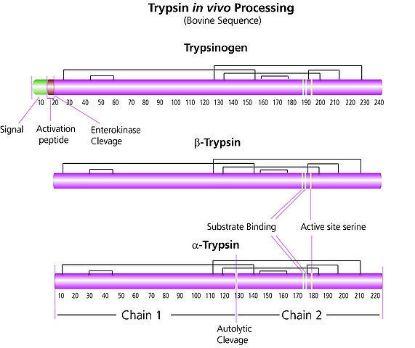 图片 TPCK处理的胰蛋白酶,Trypsin from bovine pancreas;TPCK Treated, essentially salt-free, lyophilized powder, ≥10,000 BAEE units/mg protein