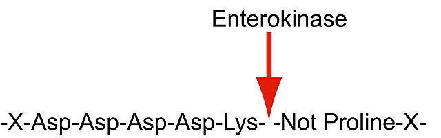 图片 肠激酶来源于牛肠 [肠肽酶],Enterokinase from bovine intestine;BioUltra, recombinant, expressed in E. coli, ≥20 units/mg protein, ≥95% (SDS-PAGE)