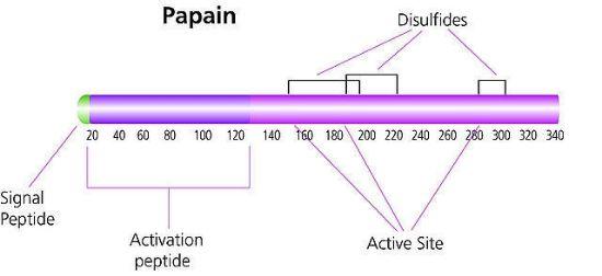 图片 木瓜蛋白酶来源于木瓜乳液,Papain from papaya latex [Papainase];lyophilized powder, aseptically filled, ≥8.0 units/mg protein