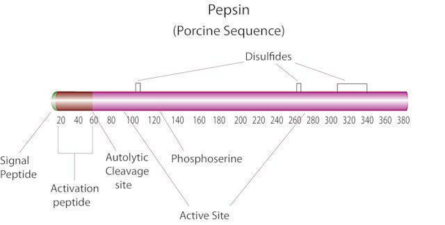 图片 胃蛋白酶来源于猪胃粘膜,Pepsin from porcine gastric mucosa;Suitable for manufacturing of diagnostic kits and reagents, lyophilized powder, ≥3200 units/mg protein