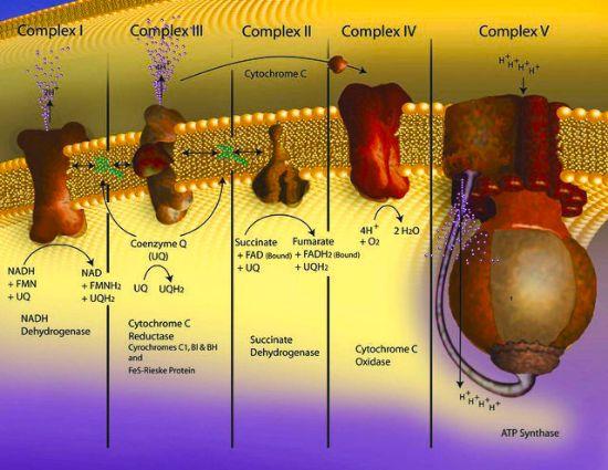 图片 细胞色素C来源于马心脏,Cytochrome c from equine heart;≥95% based on Mol. Wt. 12,384 basis