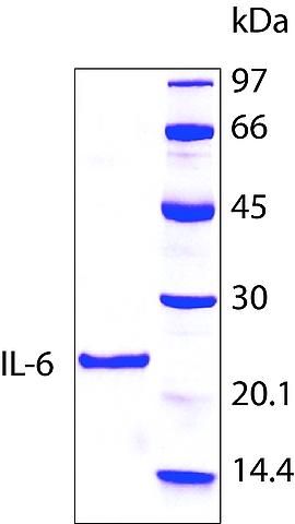 图片 人白介素-6,Interleukin-6 human [IL6];hIL-6, recombinant, expressed in E. coli, lyophilized powder, suitable for cell culture, ≥97% (SDS-PAGE)
